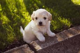dressage chiot uai Quand les chiots peuvent-ils rencontrer d'autres chiens ?
