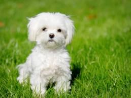 Maltese chien uai Comment les chiens reconnaissent-ils les autres races ?